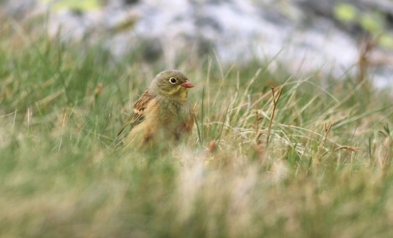 Ortolan Bunting by Jon Heath