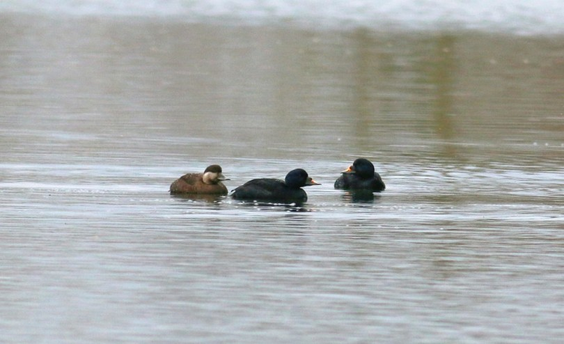 Common Scoters by Jon Heath